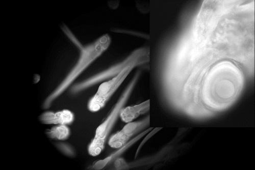 Fluorescence image of 15 zebrafish-500